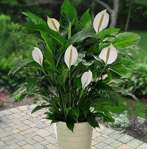 женское счастье цветок спатифиллум как ухаживать