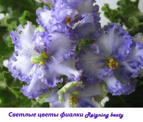 Светлые цветы фиалки Reigning beauty