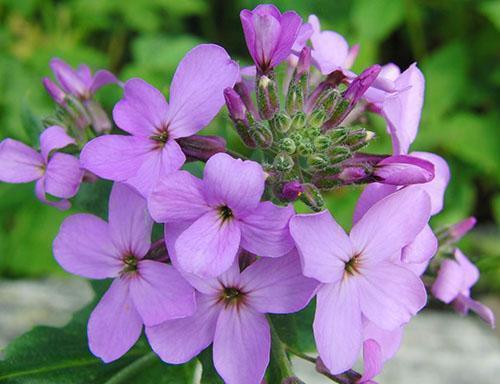 Удивительный цветок ночная фиалка