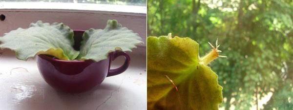 Укоренение листовых пластин