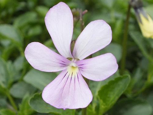 В дикой природе фиалка рогатая цветет белым, голубым, сиреневым цветом