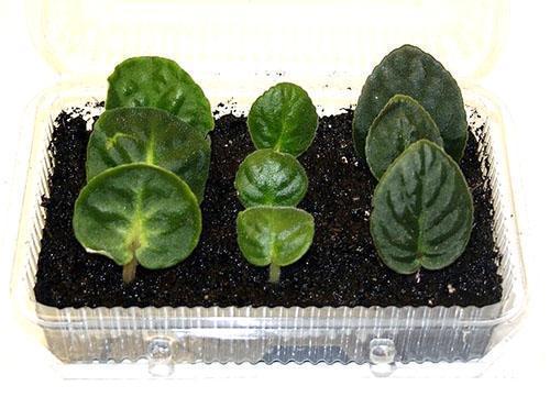 Высадка листов для размножения растений