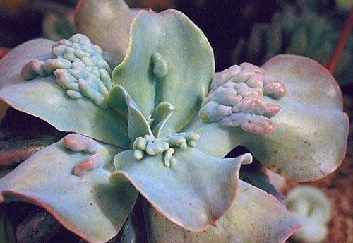 Эхеверия металлоцветковая сорт Carunculata