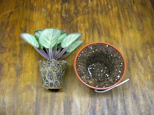 Здоровое растение пересаживают в более просторный горшок