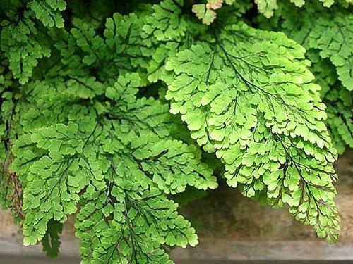 Адиантум нежный (A. tenerum)