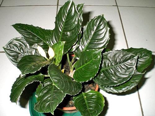 Аглаонема - теневыносливое растение