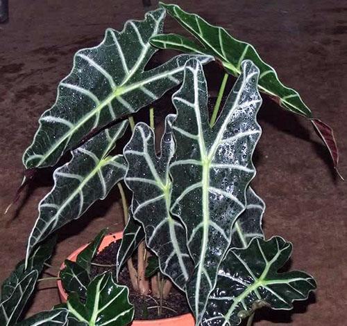 Алоказия амазонка