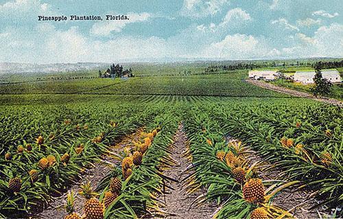 Ананасная плантация Флориды