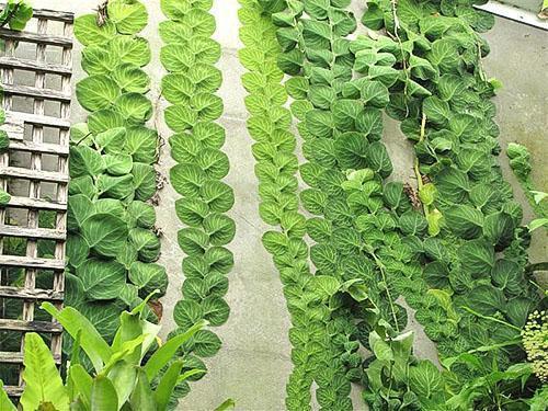 Ароидная лиана рафидофора