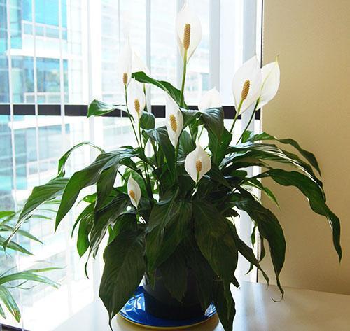Ароидное растение спатифиллум