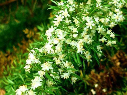 Аспарагус густоцветковый (А. densiflorus)