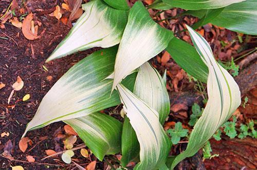 Аспидистра с осветленными на концах листовыми пластинами