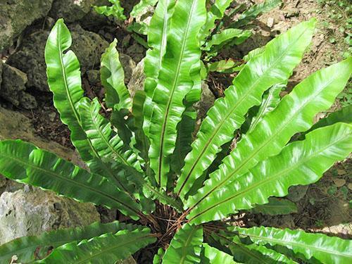 Асплениум сколопендровый (A. scolopendrium)