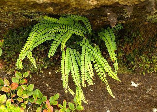 Асплениум волосовидный (A. Trichomanes)