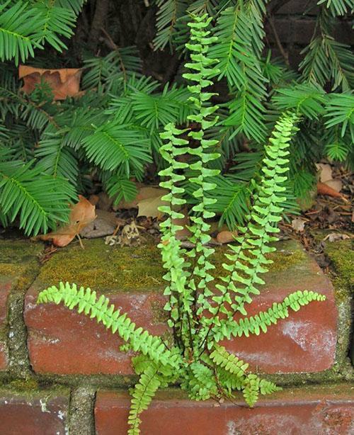 Асплениум эбеновый используют в вертикальном озеленении
