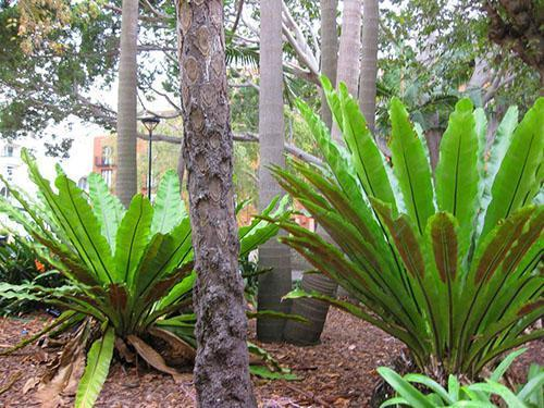 Асплениум южноазиатский (A. Australasicum)