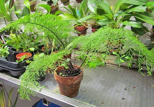 Асплениум живородящий (A. viviparum)