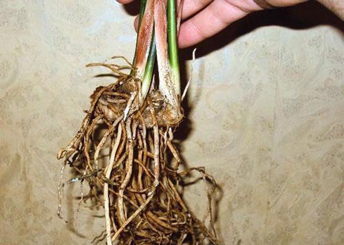 Часть куста с хорошими корнями отсаживают в другую посуду