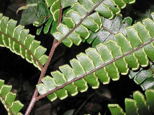 Черешки листьев окрашены в зелено-коричневые тона