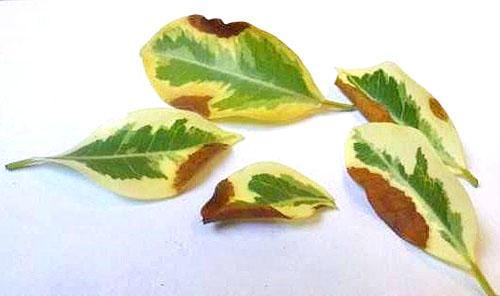 Чтобы избежать заболевания растения, полив проводят теплой водой