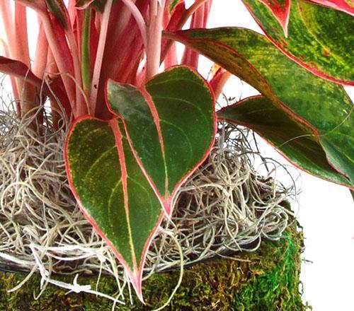 Цвет листвы, стеблей, черешков зависит от вида аглаонемы