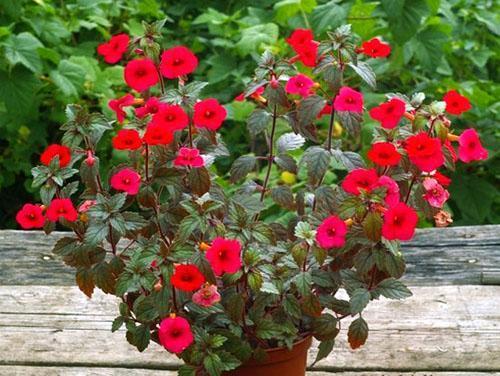 Цветение ахименеса длится до 4 месяцев