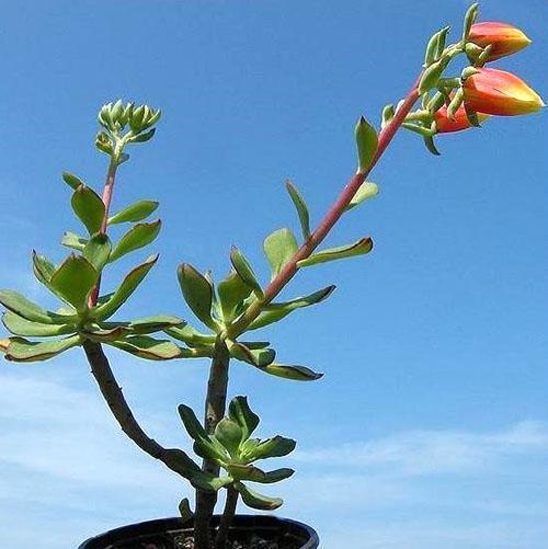 Цветет эхеверия