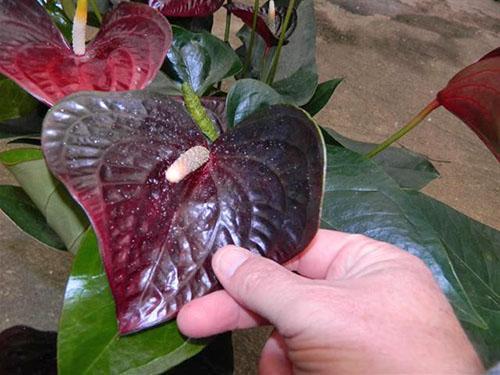 Цветы ароидных растений обладают оксалатом кальция