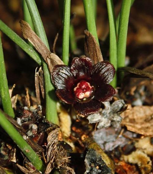 Цветы аспидистры окрашены в темно-пурпурные, бурые, фиолетовые или другие тона