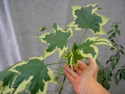 Декоративная листва домашнего клена