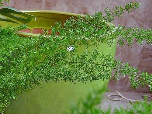 Декоративно-лиственный вид аспарагуса