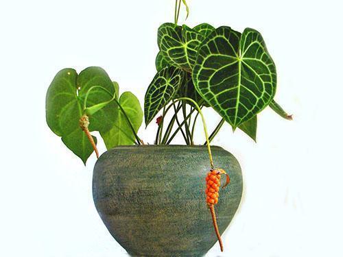 Для хорошего развития растения необходима влажность воздуха более 80%