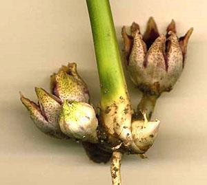 Для получения нового сорта аспидистры используют семенной способ размножения