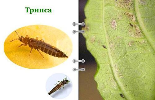 Для удаления трипсы используют инсектициды