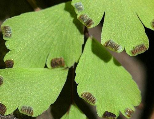 Адиантум венерин волос - размножение спорами, особенности строения вегетативных органов, видео
