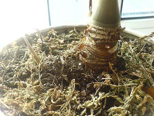 Если опали листья, корень алоказии можно пересадить для восстановления