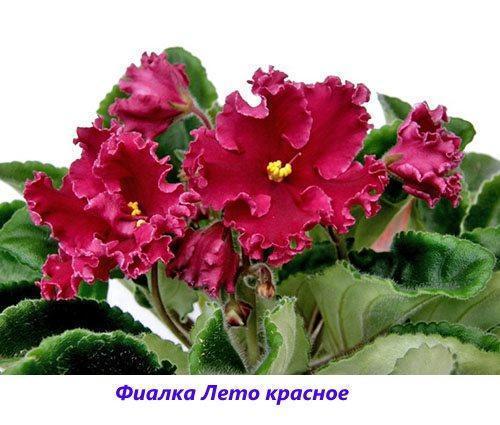 Фиалка Лето красное