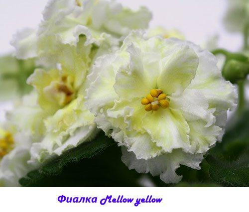 Фиалка Mellow yellow