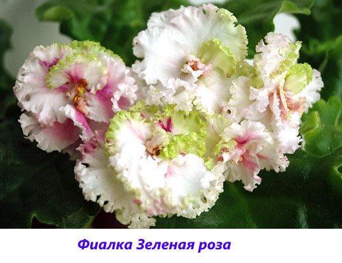Фиалка Зеленая роза