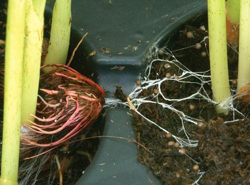 Фузариоз на листьях аспидистры