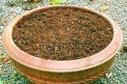 Грунт для эхеверии состоит из каменной крошки, песка и торфяного субстрата