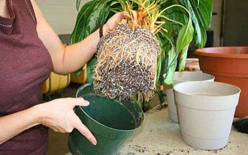 Когда корни полностью заполнят горшок, растение необходимо пересадить