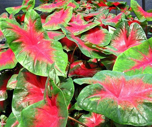 Комнатное ароидное растение каладиум