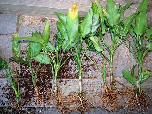 Корни растения хорошо очищают от субстрата