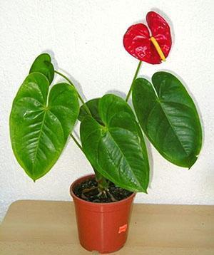 Купленное в магазине растение сразу пересаживают