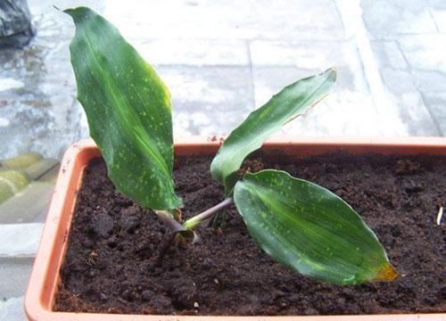 Молодое растение можно вырастить из листовой пластины