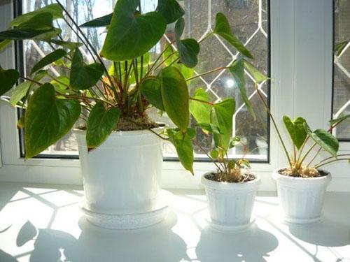 Антуриум размножение уход в домашних условиях