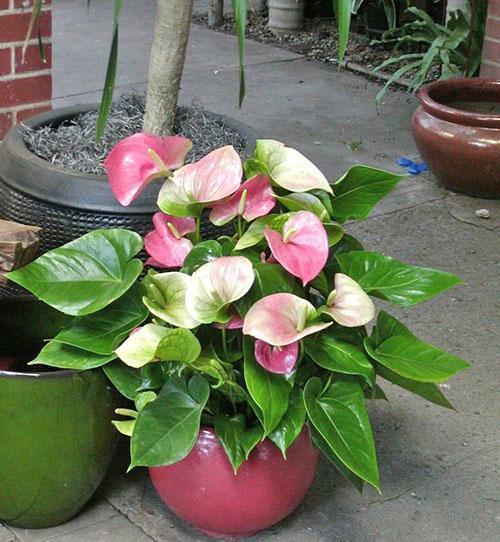 На хороший уход ароидные растения реагируют цветением