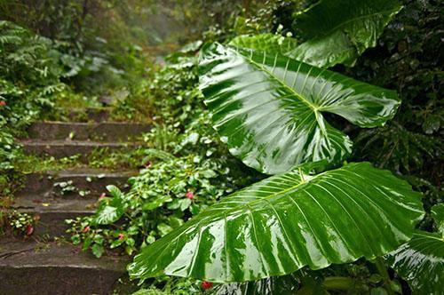 Настойку делают из листовой пластины и черешка растения
