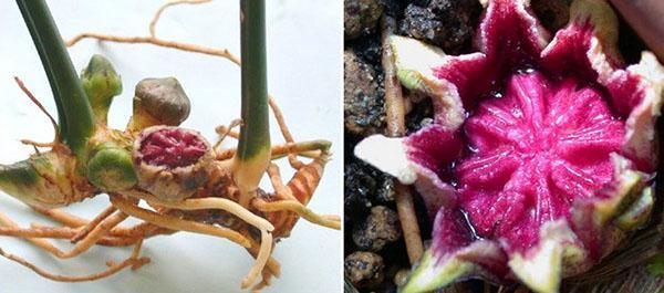 Необычное расположение цветка аспидистры
